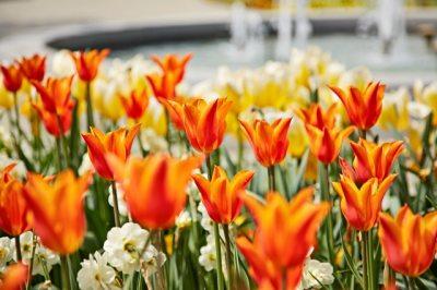 Tulpenfest (© Anna Schluifelder : Anna Schluifelder )