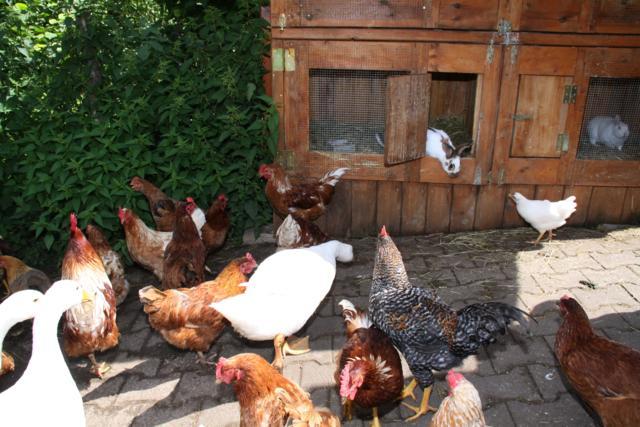 Hasen/Gänse/Hühner
