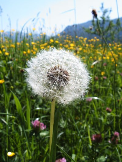 Sommerwiese mit Pusteblume