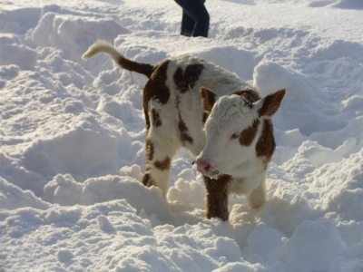 Schnee-Kälbchen