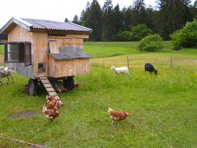 Unsere glücklichen Hühner und Schafe!