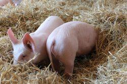 Schweine im Heu in Brandenburg. (© BARTHEL + BARTHEL GbR : BARTHEL + BARTHEL GbR )