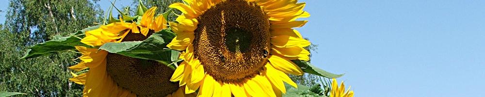 Sonnenblumen (© LAG Thüringen )