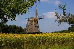 Windmühle_im_Sonnenblumenfeld (© LANDURLAUB M-V : panthermedia.net )