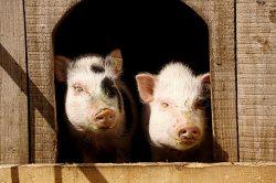 Schweine (© LAG Sachsen : Ferienhof Kaltofen )