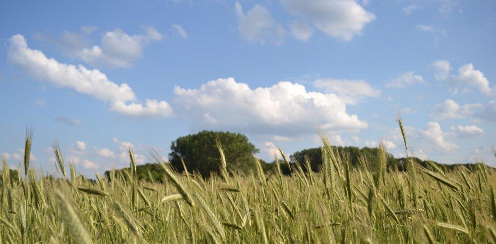 Getreidefeld: Manek