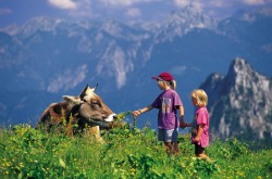 """Kinder füttern Kuh Die K�he kommen im Sommer auf die Alpen, um dort auf den saftigen und gesunden Bergwiesen zu weiden. Zwischendurch werden sie auch mal von Wanderern und ihren Kindern """"von Hand"""" gef�ttert."""