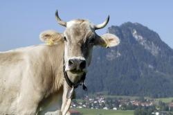 Kuh mit Blick auf Kienberg Kuh genie�t die Wiesen in Pfronten Meilingen, mit Blick auf den Kienberg.