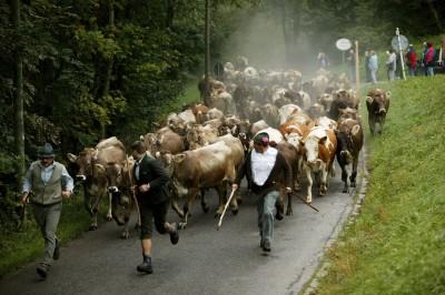 Viehscheid in Pfronten (© Pfronten Tourismus/ E. Reiter : Pfronten Tourismus/ E. Reiter )