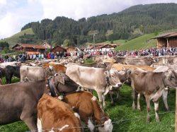 Viehscheid Rölfeuten Jedes Jahr am 3. Samstag im September ab 10.00 Uhr am Forsthaus in der Peter-Heel-Str. in Pfronten-R�fleuten.