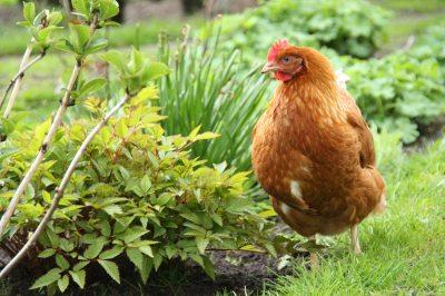 ein fleißiges Huhn