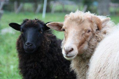 Mähhh! Das sind die Schafe Emma und Hugo!