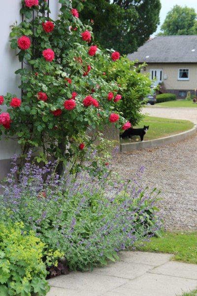 Die Rosen blühen