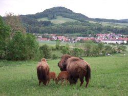 Bisonkühe und ihre Kälber