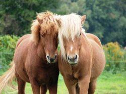 Ponys und Pferde auf dem Schäferhof