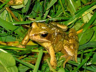 Goldener Froschkönig