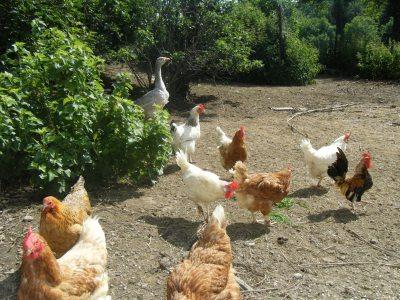 Die glücklichen Hühner mit Gans Berta