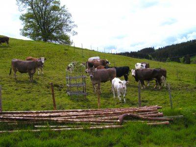 Unsere Kühe mit ihren Kälbchen auf der Weide