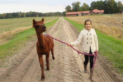 Spaziergang mit Alpaka