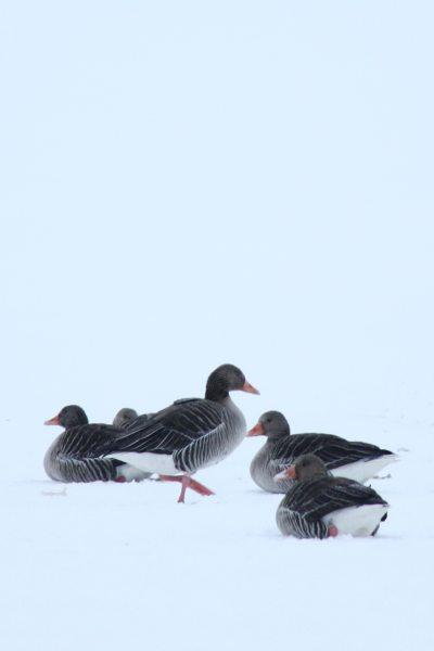 Wildgäse im Schnee