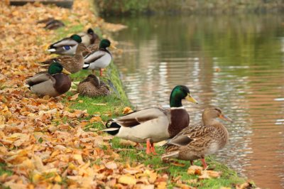 Wildenten am Teich
