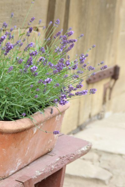 Lavendel am Speicher
