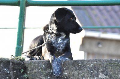 Hofhund Linda