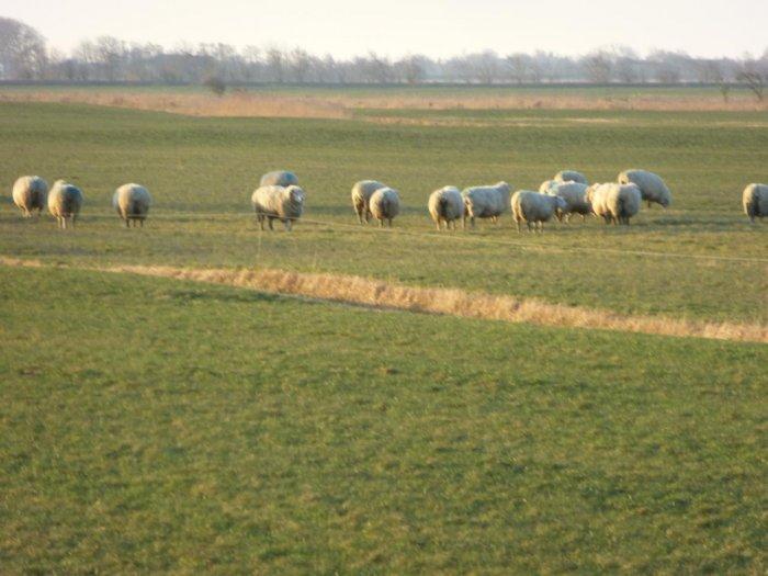 Schafe am Deichhof