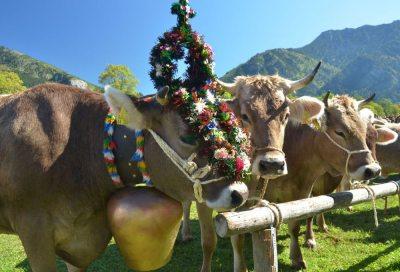Viehscheid im Ostrachtal