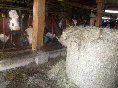 Kühe im alten Stall